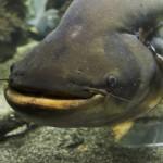 遺伝子組み換え魚鮭~忍び寄るフランケンフィッシュの脅威~