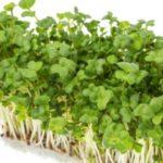 うつ病予防に効果的な食材ーブロッコリの新芽「ブロッコリースプラウト」